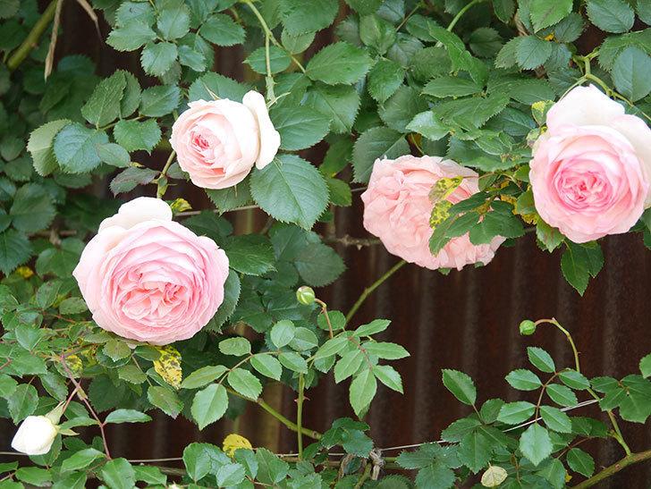 ピエール・ドゥ・ロンサール(Pierre de Ronsard)の花が増えてきた。ツルバラ。2021年-063.jpg