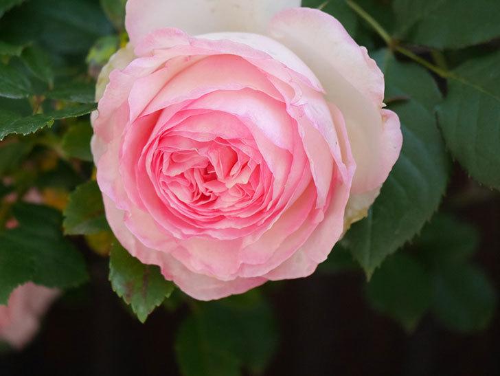ピエール・ドゥ・ロンサール(Pierre de Ronsard)の花が増えてきた。ツルバラ。2021年-065.jpg