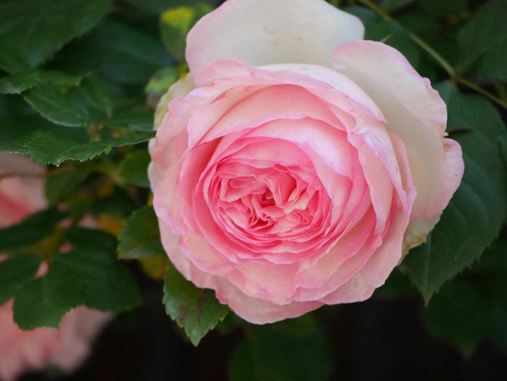 ピエール・ドゥ・ロンサール(Pierre de Ronsard)の花が増えてきた。ツルバラ。2021年-066.jpg