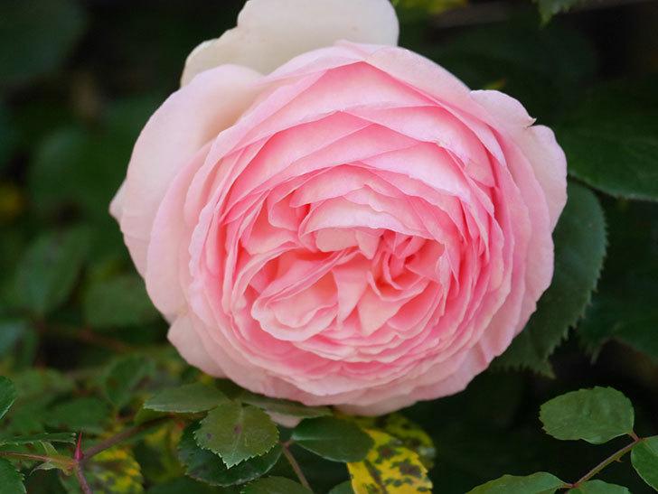 ピエール・ドゥ・ロンサール(Pierre de Ronsard)の花が増えてきた。ツルバラ。2021年-067.jpg