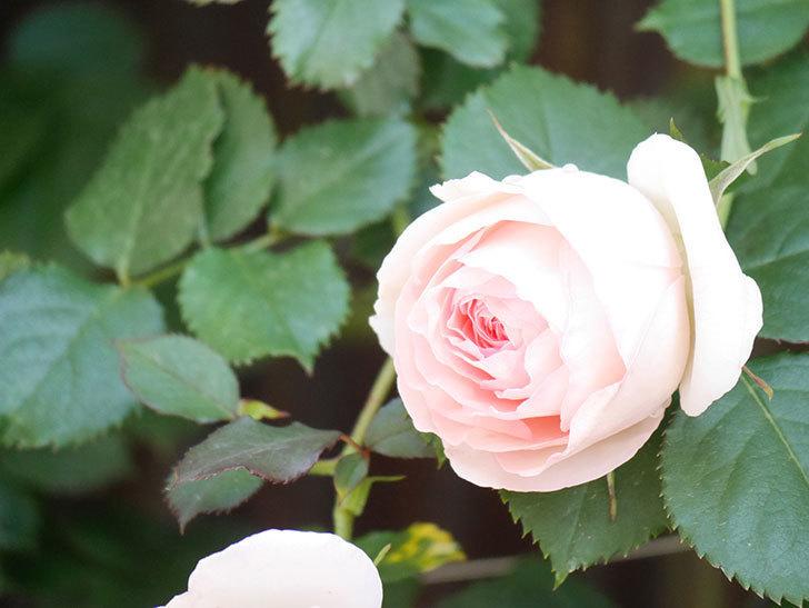 ピエール・ドゥ・ロンサール(Pierre de Ronsard)の花が増えてきた。ツルバラ。2021年-068.jpg