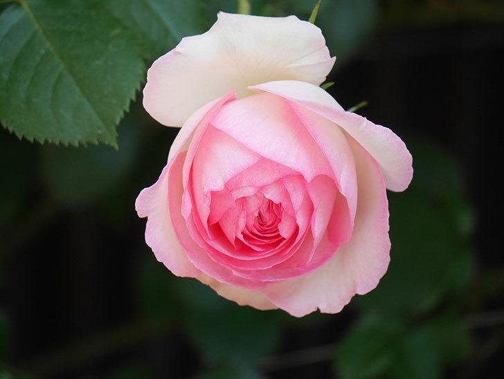 ピエール・ドゥ・ロンサール(Pierre de Ronsard)の花が増えてきた。ツルバラ。2021年-069.jpg