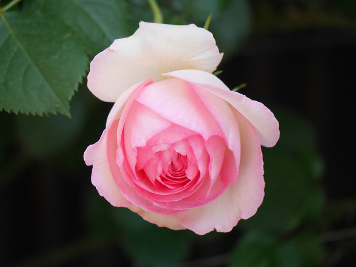 ピエール・ドゥ・ロンサール(Pierre de Ronsard)の花が増えてきた。ツルバラ。2021年-070.jpg