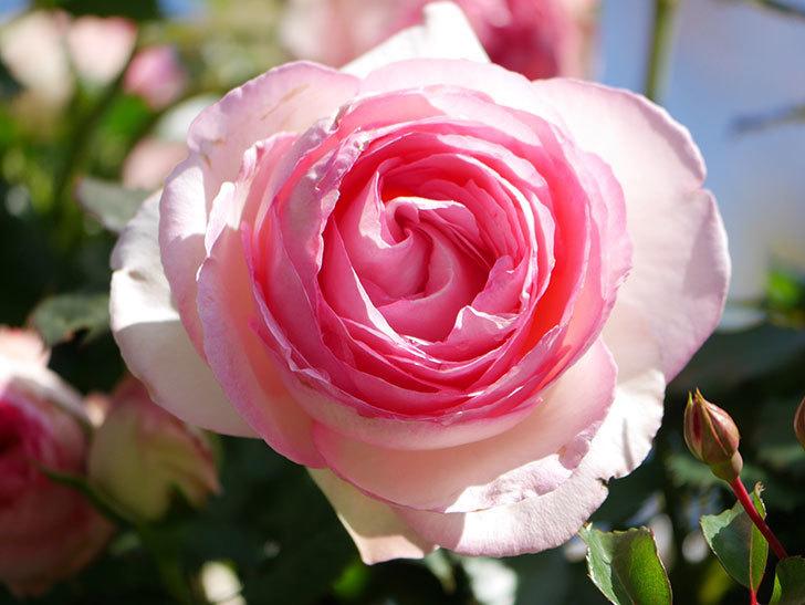 ピエール・ドゥ・ロンサール(Pierre de Ronsard)の花が増えてきた。ツルバラ。2021年-071.jpg