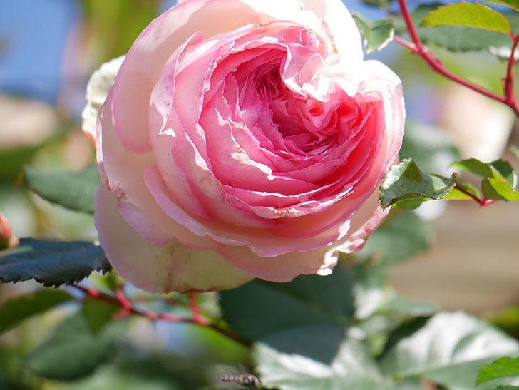 ピエール・ドゥ・ロンサール(Pierre de Ronsard)の花が増えてきた。ツルバラ。2021年-073.jpg