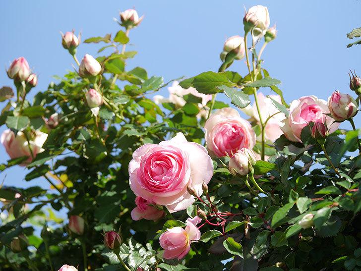 ピエール・ドゥ・ロンサール(Pierre de Ronsard)の花が増えてきた。ツルバラ。2021年-074.jpg
