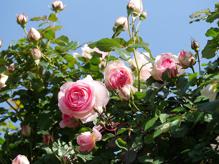 ピエール・ドゥ・ロンサール(Pierre de Ronsard)の花が増えてきた。ツルバラ。2021年-075.jpg