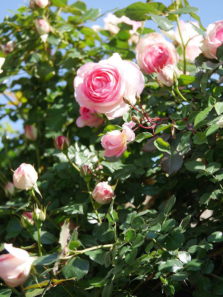 ピエール・ドゥ・ロンサール(Pierre de Ronsard)の花が増えてきた。ツルバラ。2021年-076.jpg