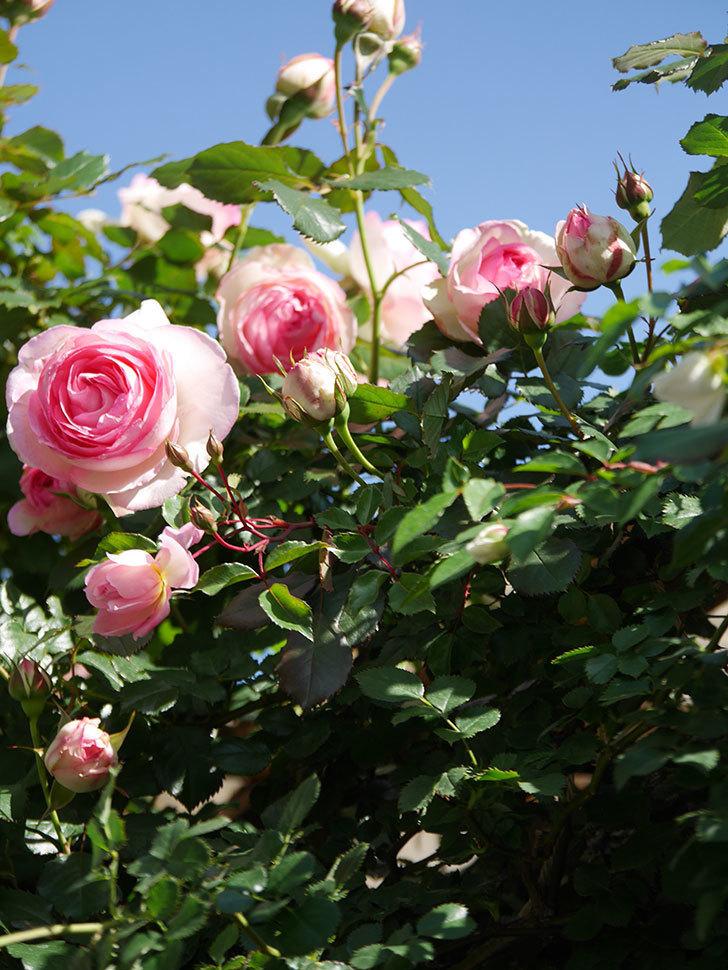 ピエール・ドゥ・ロンサール(Pierre de Ronsard)の花が増えてきた。ツルバラ。2021年-077.jpg