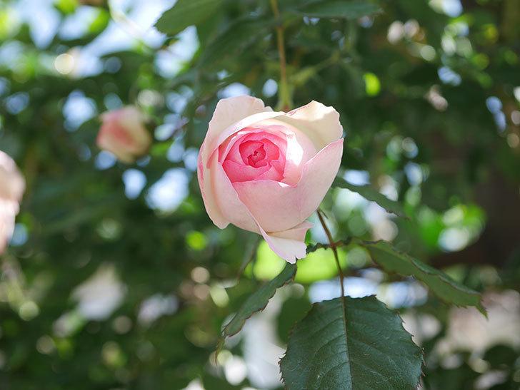 ピエール・ドゥ・ロンサール(Pierre de Ronsard)の花が増えてきた。ツルバラ。2021年-079.jpg