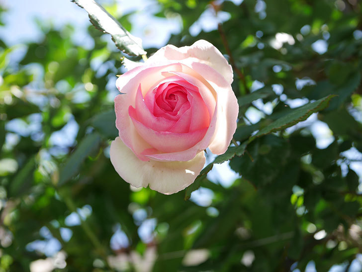ピエール・ドゥ・ロンサール(Pierre de Ronsard)の花が増えてきた。ツルバラ。2021年-080.jpg