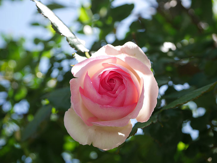 ピエール・ドゥ・ロンサール(Pierre de Ronsard)の花が増えてきた。ツルバラ。2021年-081.jpg