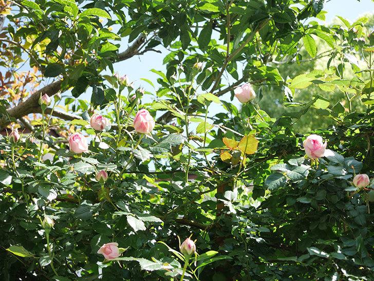 ピエール・ドゥ・ロンサール(Pierre de Ronsard)の花が増えてきた。ツルバラ。2021年-082.jpg