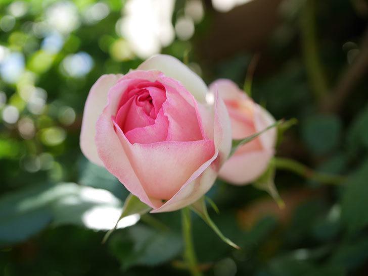 ピエール・ドゥ・ロンサール(Pierre de Ronsard)の花が増えてきた。ツルバラ。2021年-085.jpg