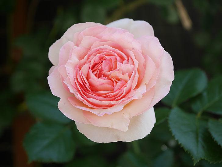 ピエール・ドゥ・ロンサール(Pierre de Ronsard)の花が増えてきた。ツルバラ。2021年-086.jpg
