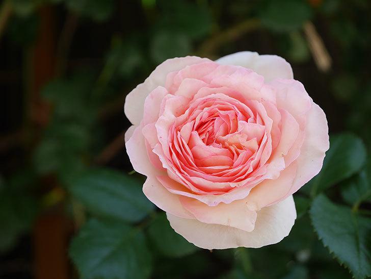 ピエール・ドゥ・ロンサール(Pierre de Ronsard)の花が増えてきた。ツルバラ。2021年-087.jpg