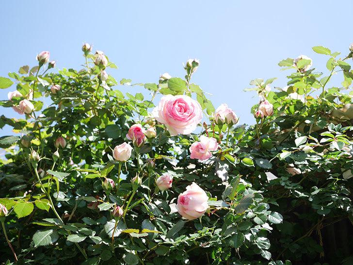 ピエール・ドゥ・ロンサール(Pierre de Ronsard)の花が増えてきた。ツルバラ。2021年-090.jpg