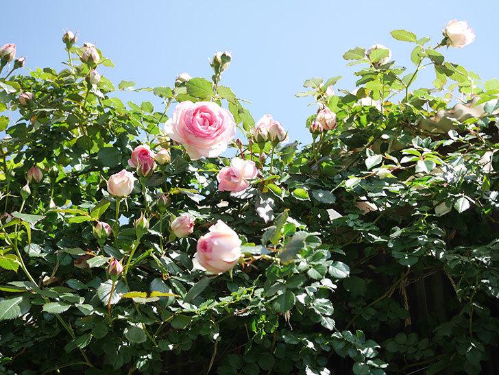ピエール・ドゥ・ロンサール(Pierre de Ronsard)の花が増えてきた。ツルバラ。2021年-091.jpg