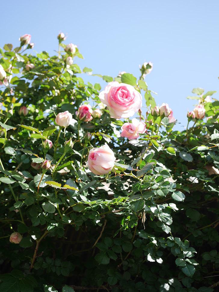 ピエール・ドゥ・ロンサール(Pierre de Ronsard)の花が増えてきた。ツルバラ。2021年-092.jpg
