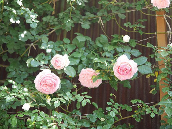 ピエール・ドゥ・ロンサール(Pierre de Ronsard)の花が増えてきた。ツルバラ。2021年-093.jpg