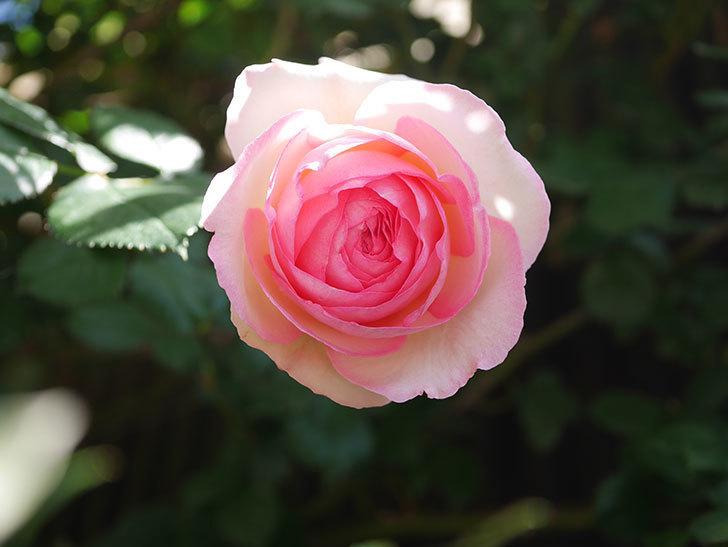 ピエール・ドゥ・ロンサール(Pierre de Ronsard)の花が増えてきた。ツルバラ。2021年-094.jpg