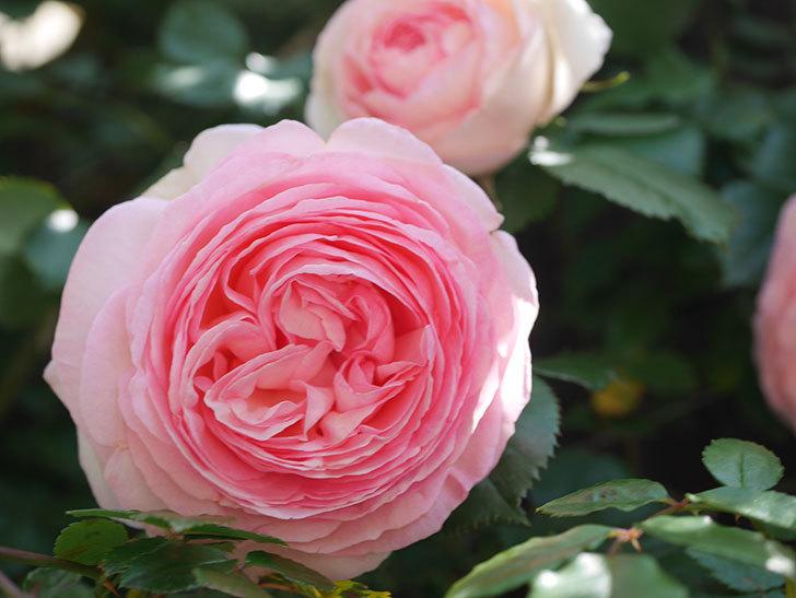 ピエール・ドゥ・ロンサール(Pierre de Ronsard)の花が増えてきた。ツルバラ。2021年-095.jpg