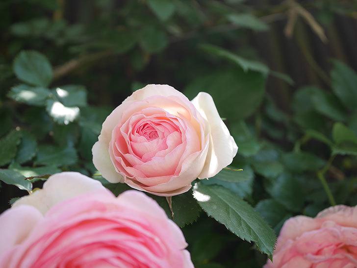ピエール・ドゥ・ロンサール(Pierre de Ronsard)の花が増えてきた。ツルバラ。2021年-096.jpg