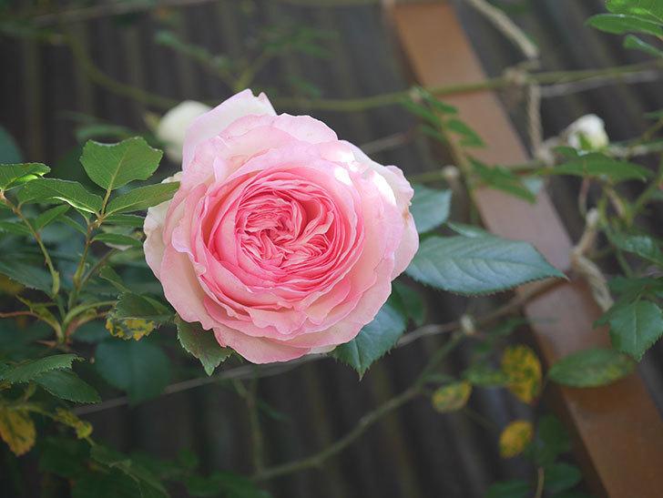 ピエール・ドゥ・ロンサール(Pierre de Ronsard)の花が増えてきた。ツルバラ。2021年-097.jpg