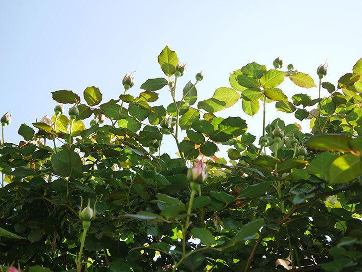 ピエール・ドゥ・ロンサール(Pierre de Ronsard)の花が少し咲いた。ツルバラ。2021年-001.jpg