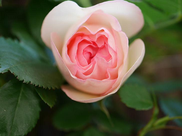 ピエール・ドゥ・ロンサール(Pierre de Ronsard)の花が少し咲いた。ツルバラ。2021年-003.jpg
