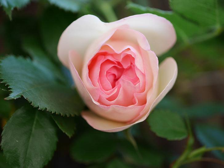 ピエール・ドゥ・ロンサール(Pierre de Ronsard)の花が少し咲いた。ツルバラ。2021年-004.jpg