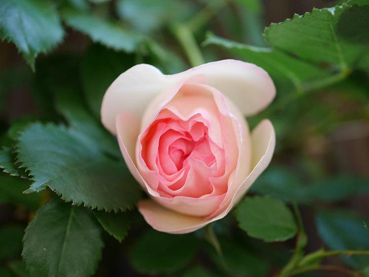 ピエール・ドゥ・ロンサール(Pierre de Ronsard)の花が少し咲いた。ツルバラ。2021年-005.jpg