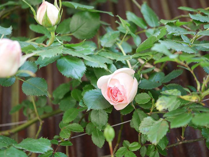 ピエール・ドゥ・ロンサール(Pierre de Ronsard)の花が少し咲いた。ツルバラ。2021年-008.jpg