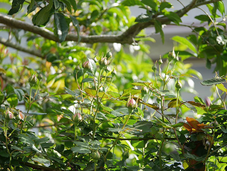 ピエール・ドゥ・ロンサール(Pierre de Ronsard)の花が少し咲いた。ツルバラ。2021年-009.jpg