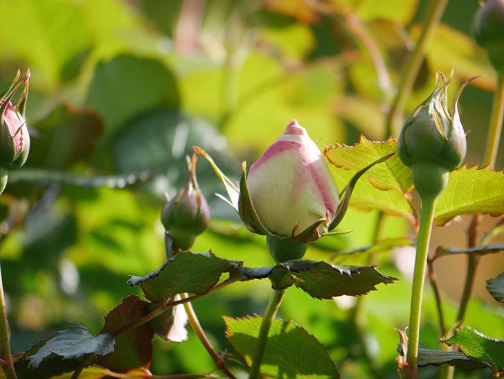 ピエール・ドゥ・ロンサール(Pierre de Ronsard)の花が少し咲いた。ツルバラ。2021年-011.jpg
