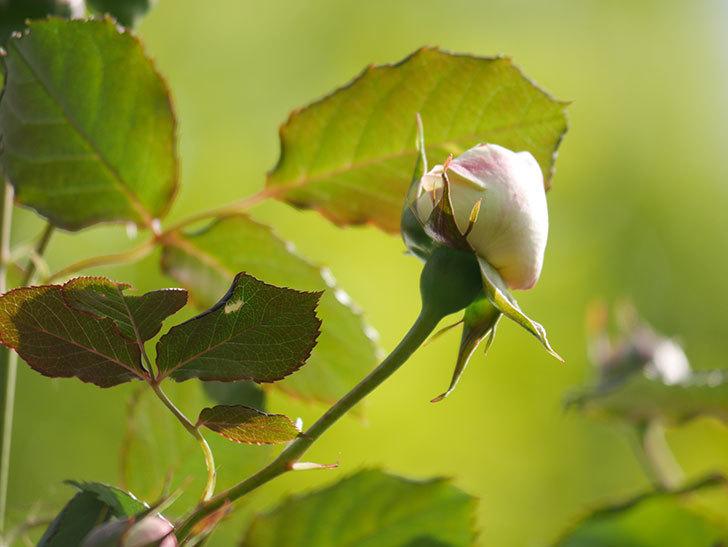 ピエール・ドゥ・ロンサール(Pierre de Ronsard)の花が少し咲いた。ツルバラ。2021年-012.jpg