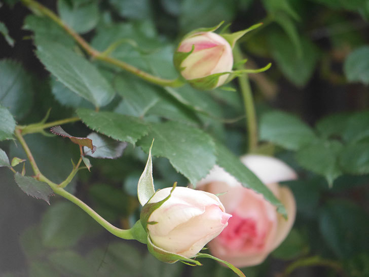 ピエール・ドゥ・ロンサール(Pierre de Ronsard)の花が少し咲いた。ツルバラ。2021年-013.jpg