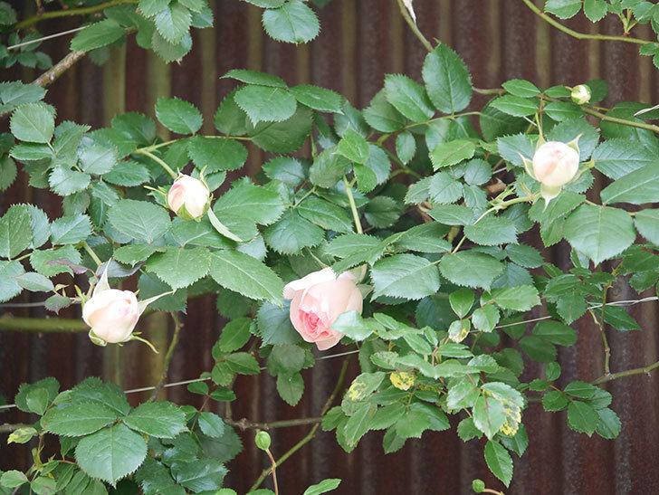 ピエール・ドゥ・ロンサール(Pierre de Ronsard)の花が少し咲いた。ツルバラ。2021年-014.jpg