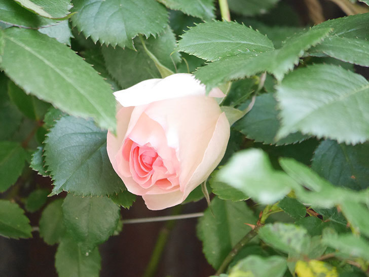 ピエール・ドゥ・ロンサール(Pierre de Ronsard)の花が少し咲いた。ツルバラ。2021年-015.jpg