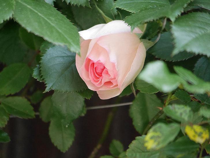 ピエール・ドゥ・ロンサール(Pierre de Ronsard)の花が少し咲いた。ツルバラ。2021年-016.jpg