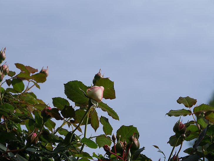 ピエール・ドゥ・ロンサール(Pierre de Ronsard)の花が少し咲いた。ツルバラ。2021年-018.jpg