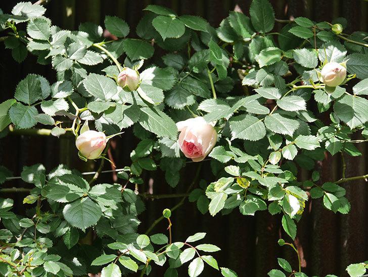 ピエール・ドゥ・ロンサール(Pierre de Ronsard)の花が少し咲いた。ツルバラ。2021年-026.jpg