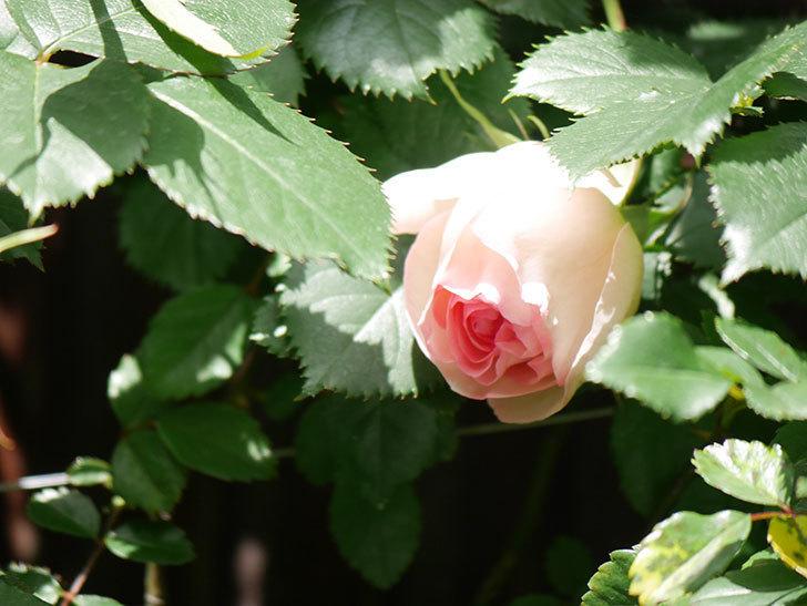 ピエール・ドゥ・ロンサール(Pierre de Ronsard)の花が少し咲いた。ツルバラ。2021年-027.jpg