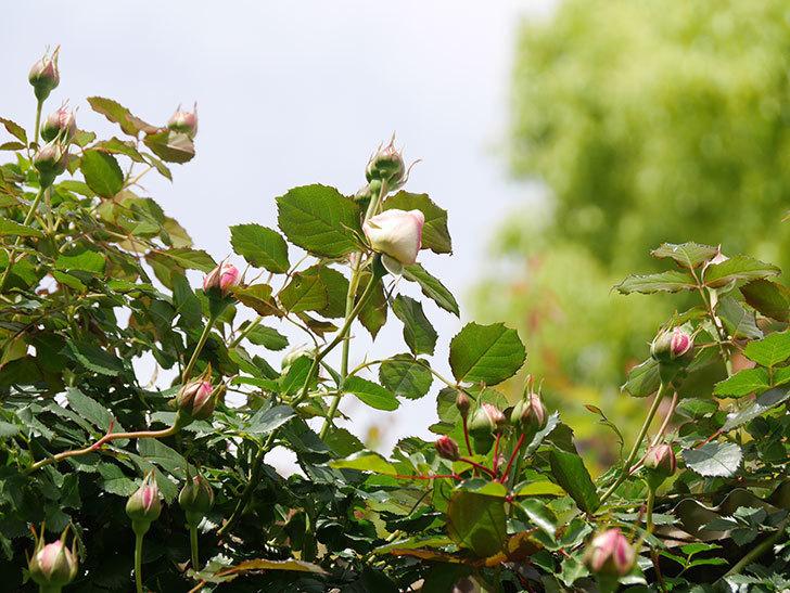 ピエール・ドゥ・ロンサール(Pierre de Ronsard)の花が少し咲いた。ツルバラ。2021年-028.jpg