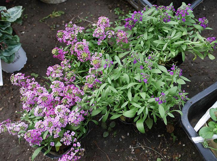 ピンクと紫のアリッサムの苗を2個ずつホームズで買って来た。2018年-1.jpg