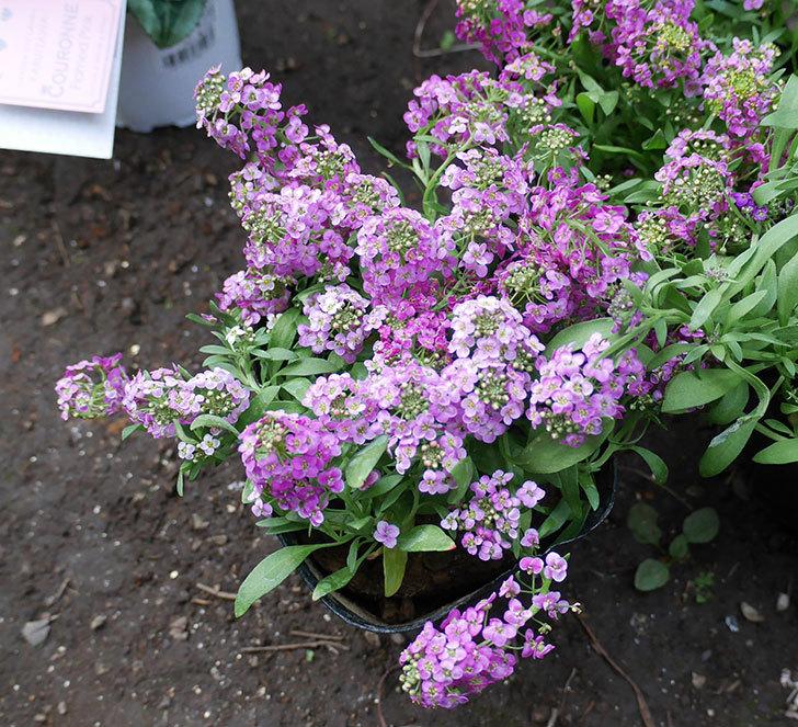 ピンクと紫のアリッサムの苗を2個ずつホームズで買って来た。2018年-2.jpg
