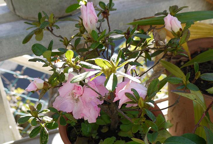 ピンクのアザレアが咲いた1.jpg