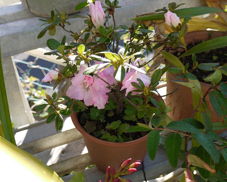 ピンクのアザレアが咲いた2.jpg