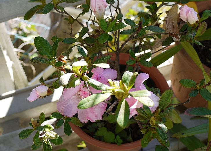 ピンクのアザレアが咲いた3.jpg