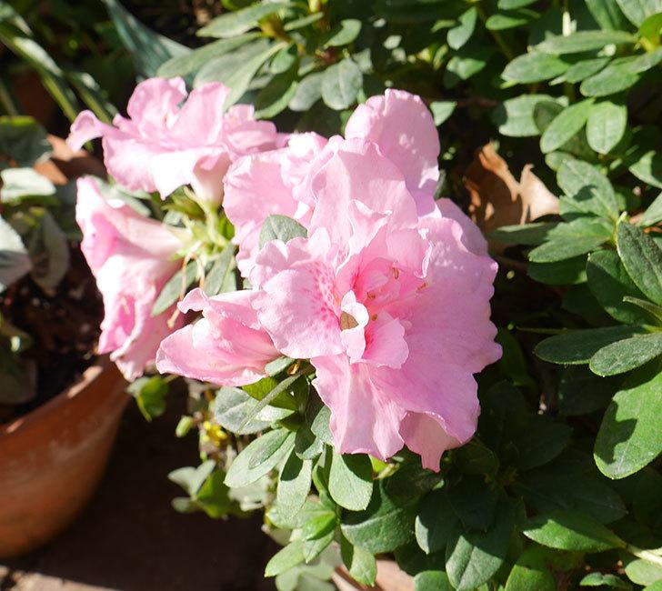 ピンクのアザレアが咲いた。2018年-1.jpg
